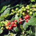 kofejny-e-zerna-prinosyat-zdorov-e-krasotu-i-pomogayut-v-by-tu-4