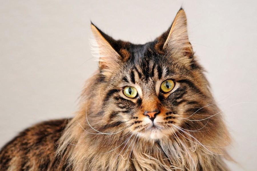 Порода кошек мейн кун и её история