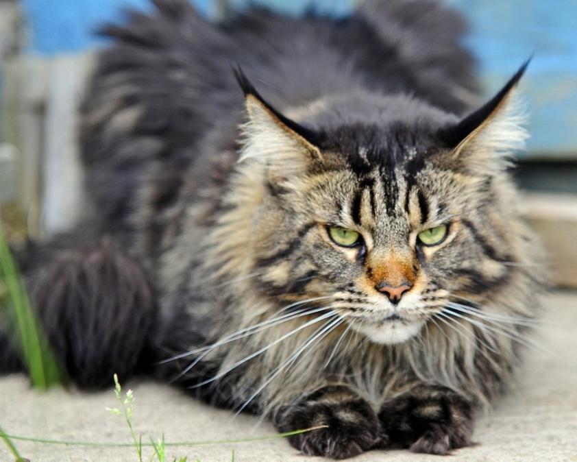 Котята майкуны фото