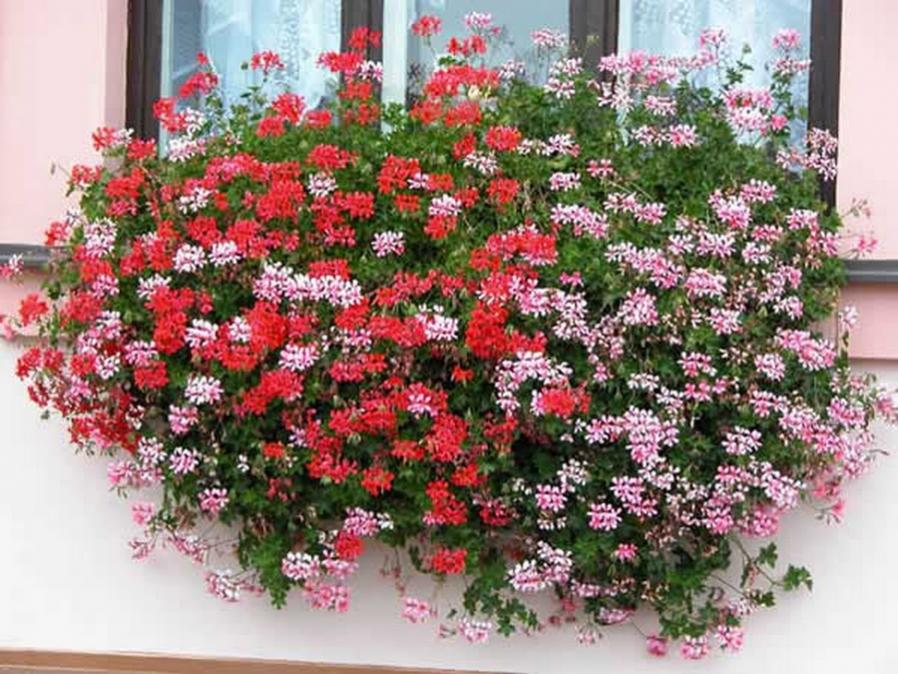 Купить рассаду однолетних вьющихся цветов для балкона..