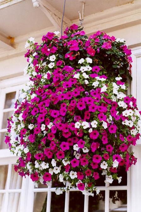 Дачные дела: ампельные растения для сада.