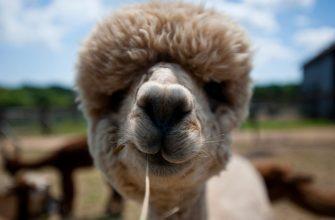 Смешные фото домашних животных - альпака
