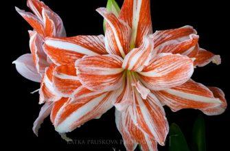 Красивые цветы в режиме TimeLaose от Katka Pruskova