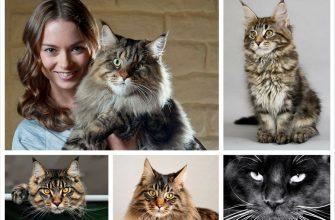 Порода кошек Мейн-кун и её история
