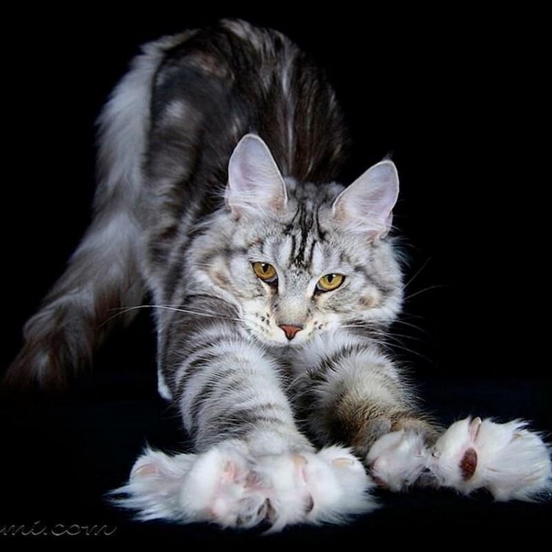 крупная порода кошек мейн кун фото