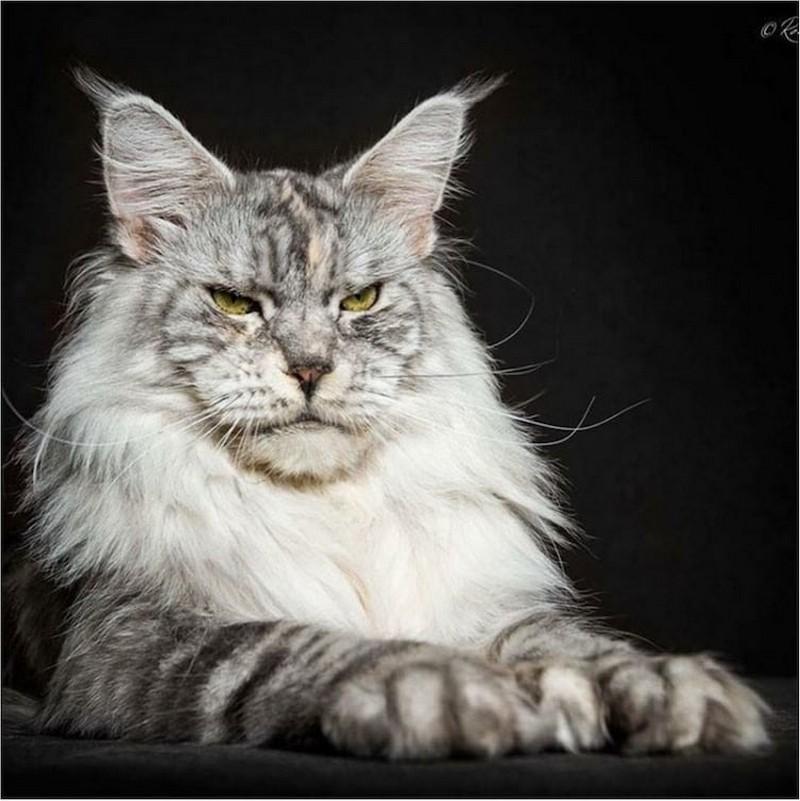 самая большая порода кошек мейн кун фото