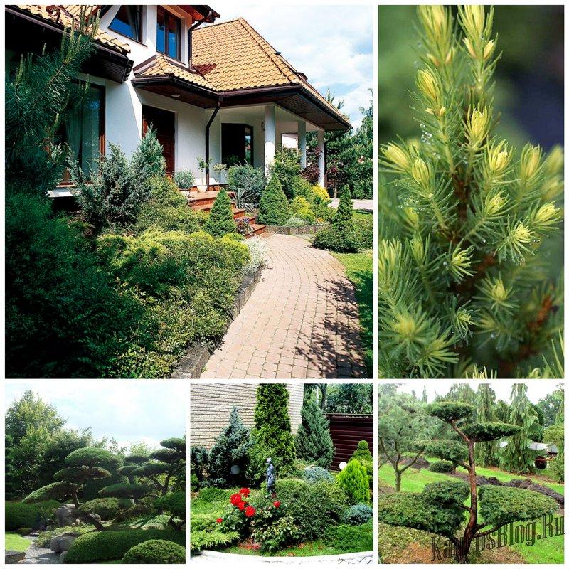 Хвойные растения для сада какие выбрать где и как сажать