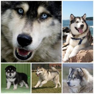 Порода Аляскинский Маламут не оставит равнодушными любителей больших собак