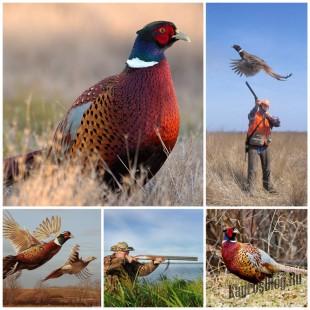 Секреты охоты на фазана без собаки