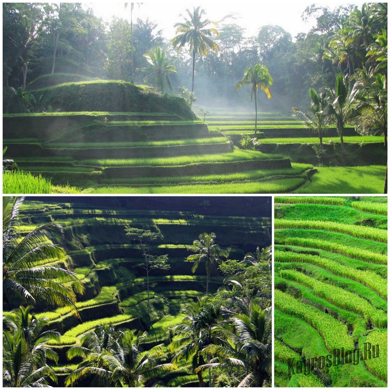 рисовые террасы в деревне Тегаллаланг в Убуде