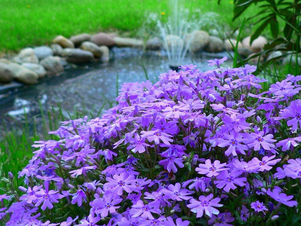 Флоксы многолетние цветы удивительной красоты