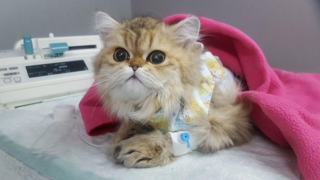 Кошка после стерилизации - опять эти вопли!