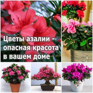 Цветы азалии - опасная красота в вашем доме