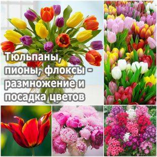 Тюльпаны, пионы, флоксы - размножение и посадка цветов