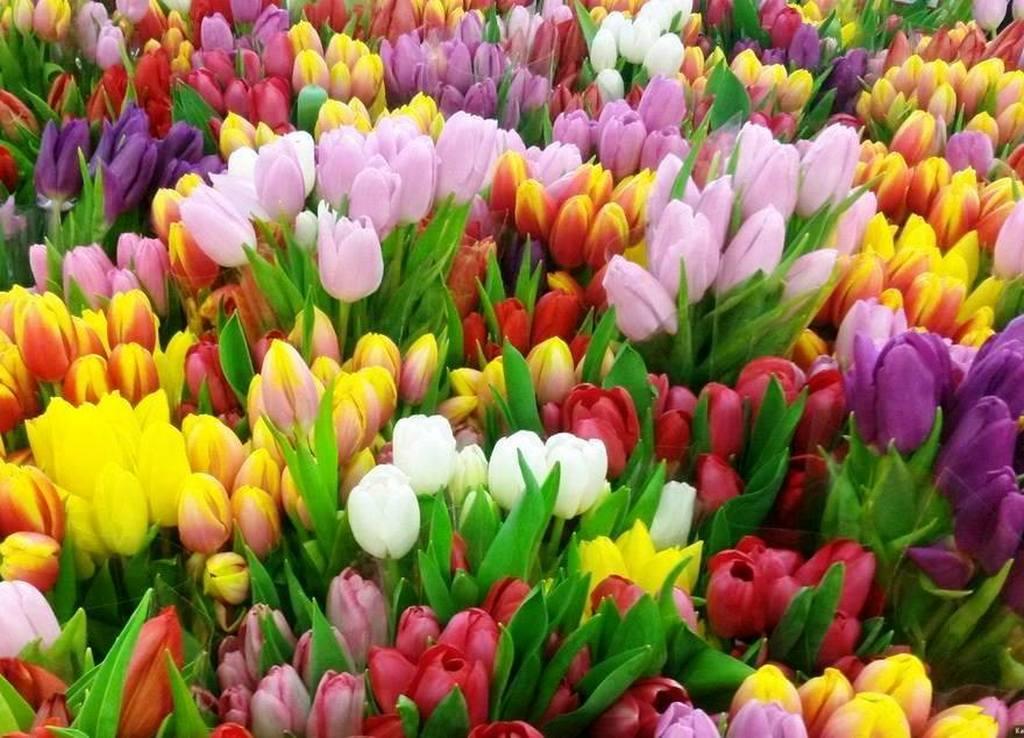 Тюльпаны - предвестники скорого лета