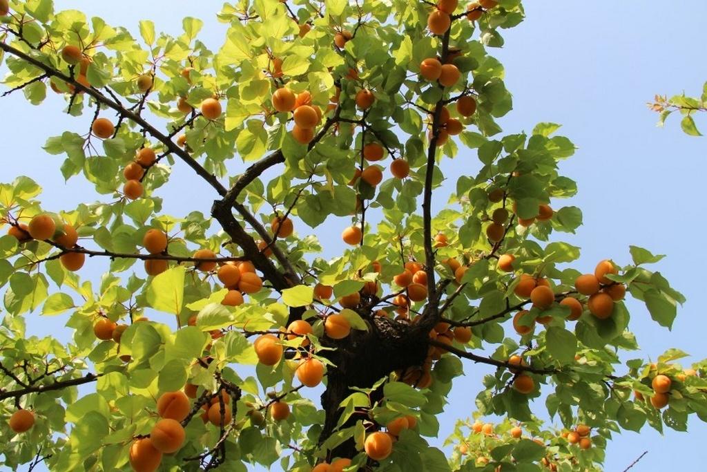 Виды и сорта абрикосов
