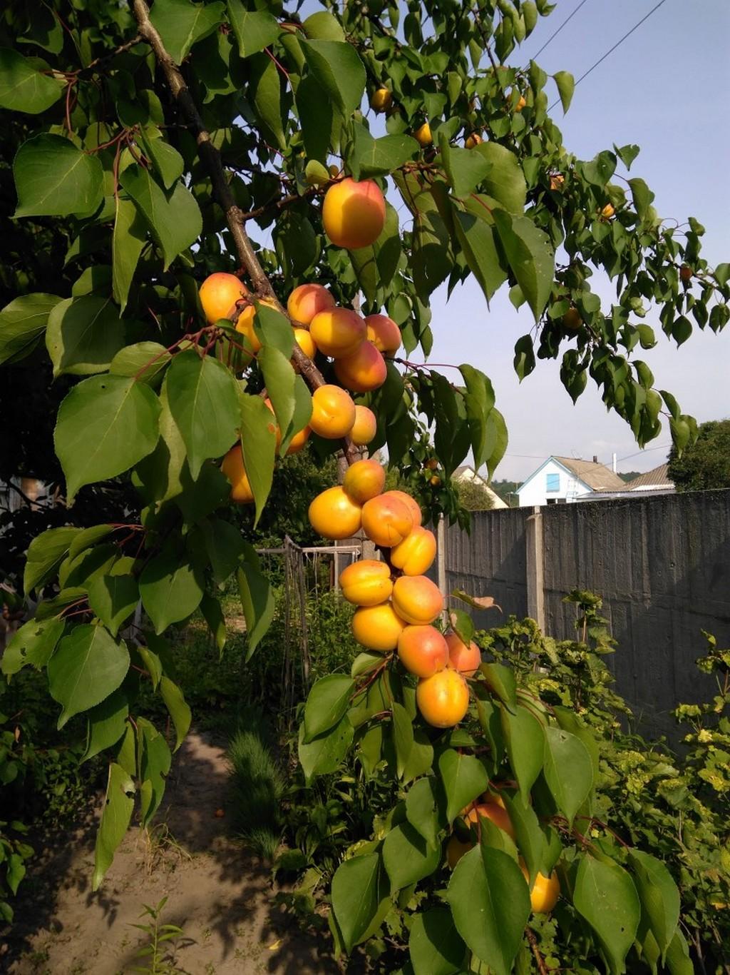 Вредители и болезни абрикосовых деревьев