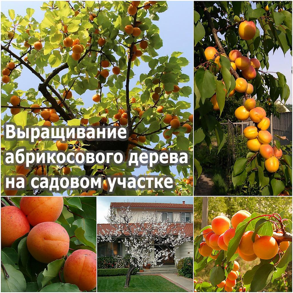 Выращивание абрикосового дерева на садовом участке