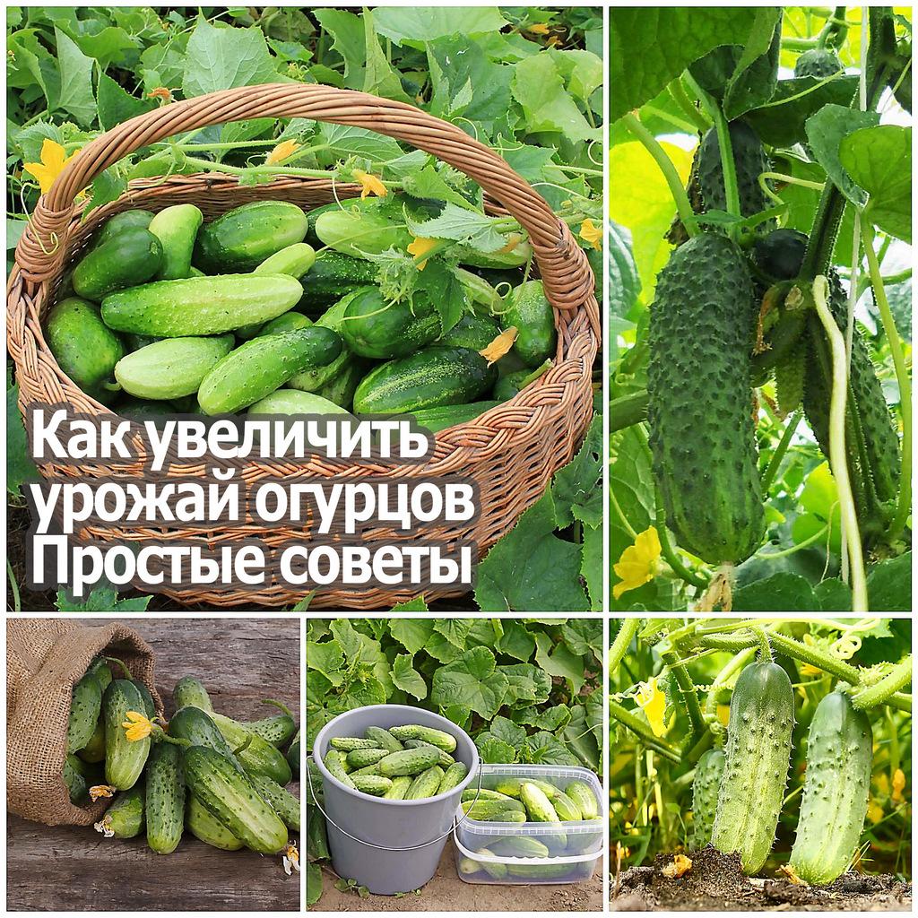 Как увеличить урожай огурцов - простые советы
