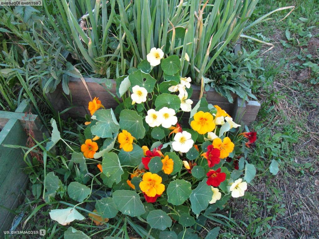 Как вырастить настурцию и календулу из семян