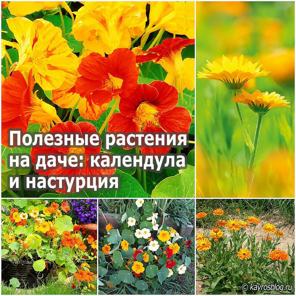 Полезные растения на даче календула и настурция