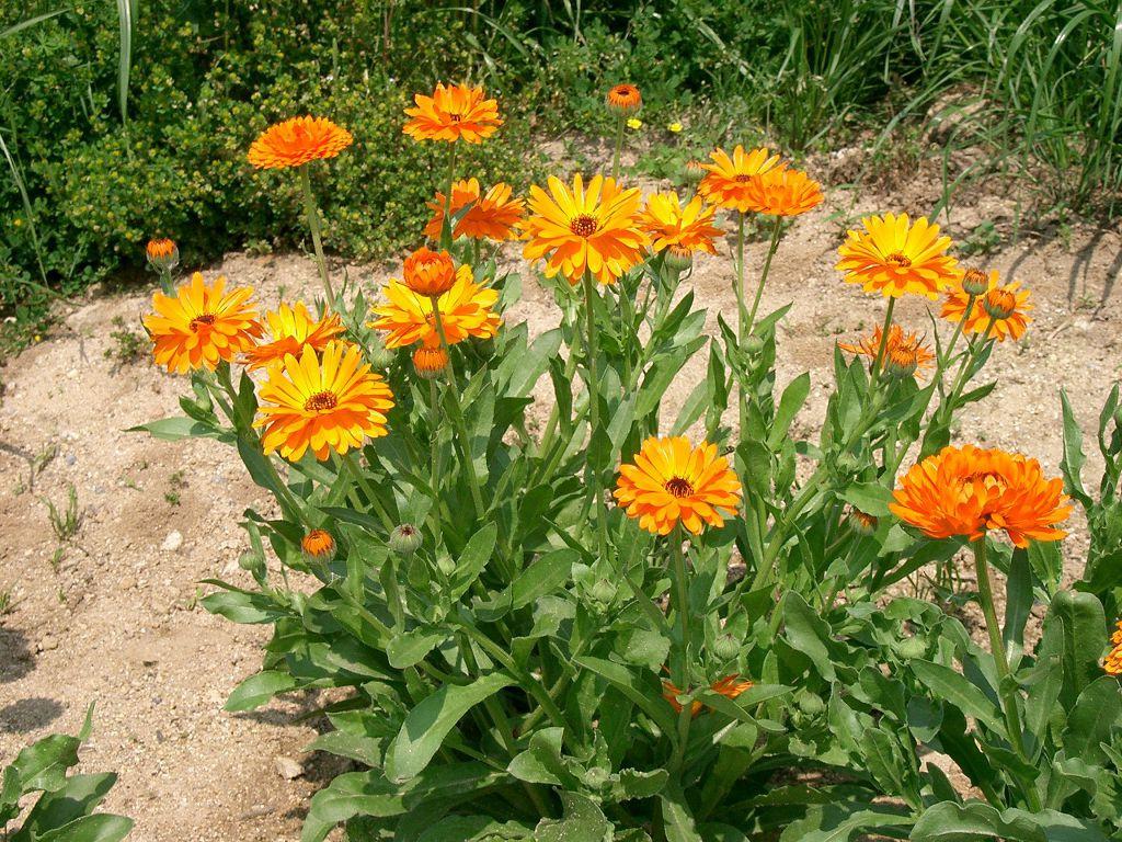 Полезные свойства дачных цветов