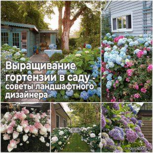 Выращивание гортензии в саду - советы ландшафтного дизайнера
