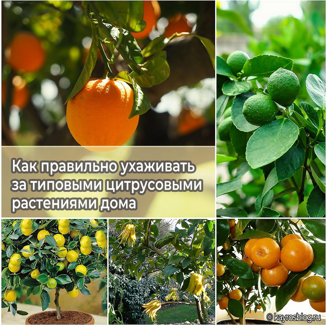 Как правильно ухаживать за типовыми цитрусовыми растениями дома