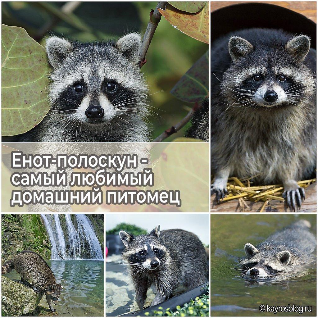 Енот-полоскун - самый любимый домашний питомец
